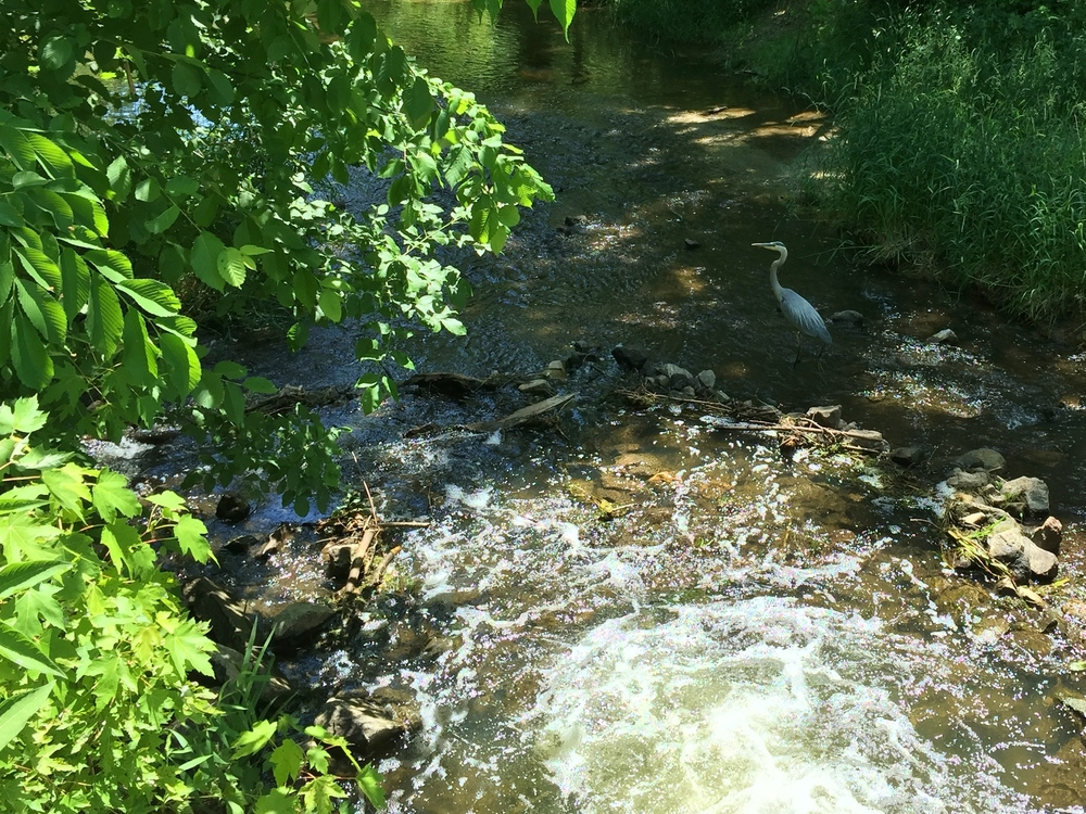 Blue Heron. I saw 3 or 4 of these on my ride.