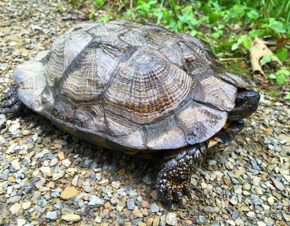 Big wood turtle