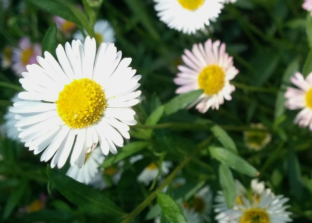 C is for Chamomile