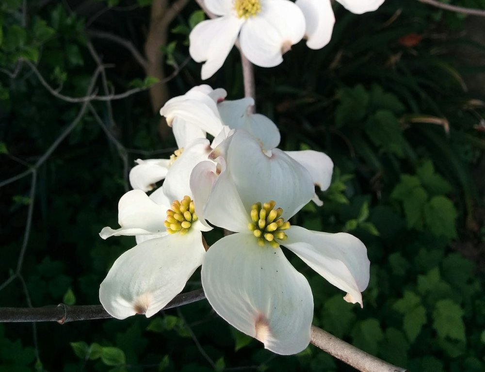 D is for Dogwood