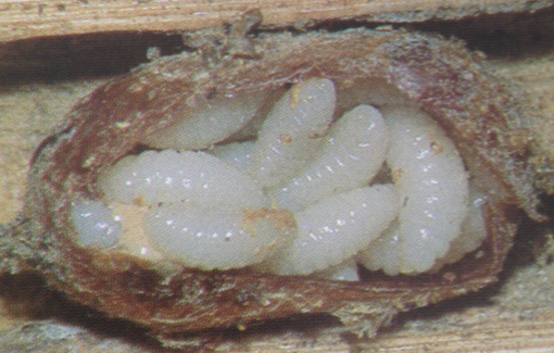 Monodomerus obscurus larvae inside a bee cocoon that have eaten a bee!