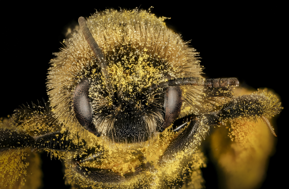 Melissodes desponsa covered in pollen By USGS Bee Inventory and Monitoring Lab from Beltsville, Maryland, USA - Melissodes desponsa, f, face, Maine, Du Clos_2015-12-01-17.37, Public Domain,