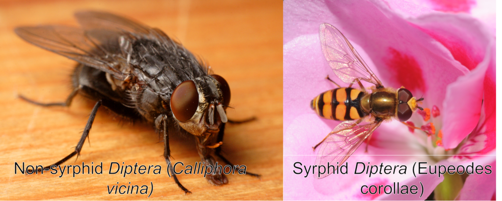 A comparison of flies (non-syrphid Diptera) and hoverflies (Syrphid Diptera) Photo on the left:By א (Aleph) - Own work, CC BY-SA 2.5 Photo on the right:By Thomas Bresson - Syrphidae sp.Uploaded by ComputerHotline, CC BY 2.0