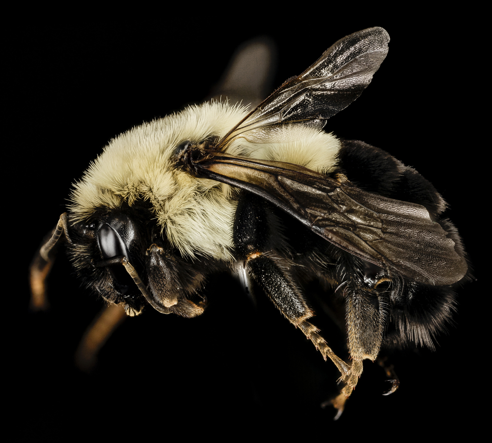 A common Eastern Bumblebee Queen By USGS Bee Inventory and Monitoring Lab from Beltsville