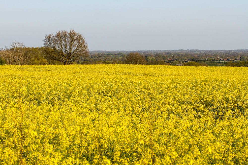 A field of oil seed rape By Michael Palmer - Own work, CC BY-SA 4.0