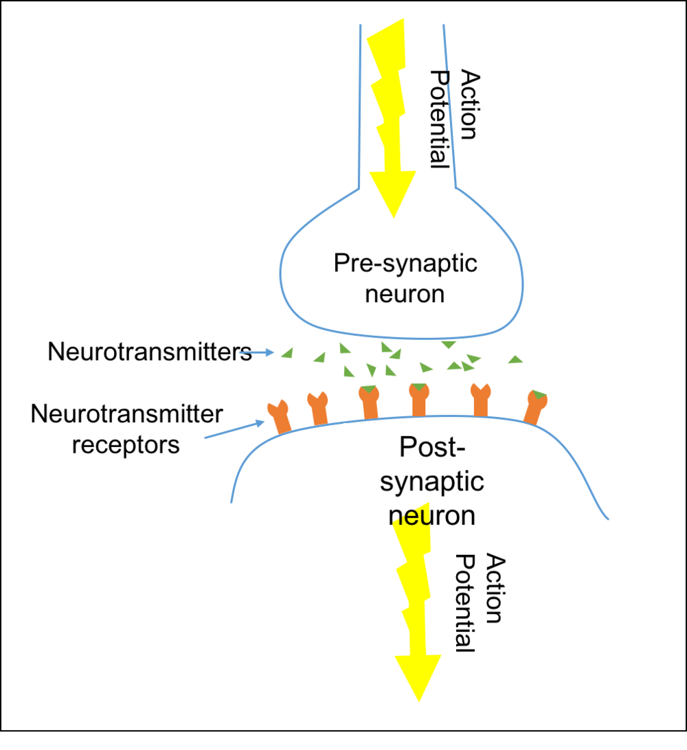 A simplified diagram of a synapse