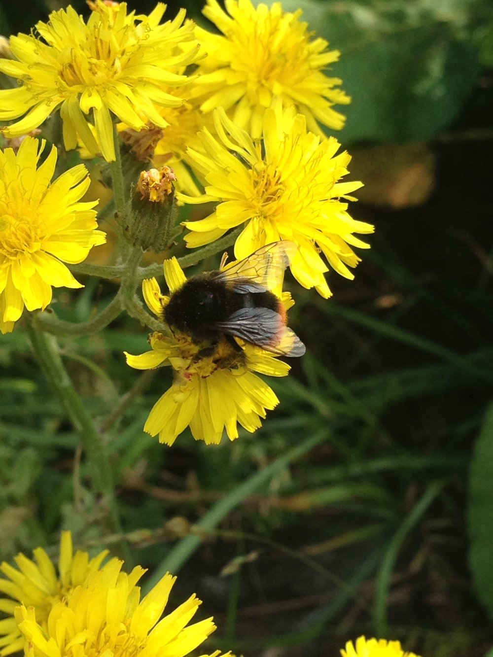 A red-tailed bumblebee (Bombus lapidarius)I snapped just outside the University of Birmingham