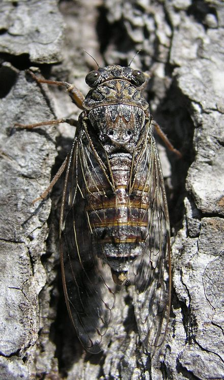 Cicadetta montana the only British species of Cicada that hasn't been spotted in the wild for 15 years. By Honza Beran - Own work, CC BY 3.0