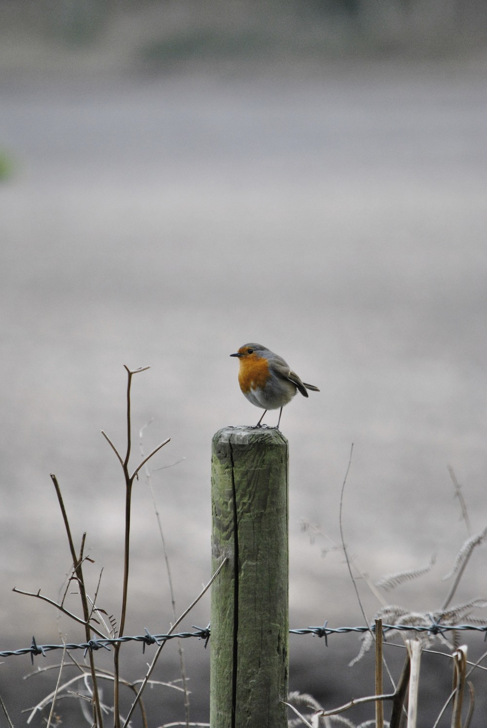 A robin perched outside the Ginger&Browns pet shop in Northwich, near Chester, Winsford and Frodsham in Cheshire.