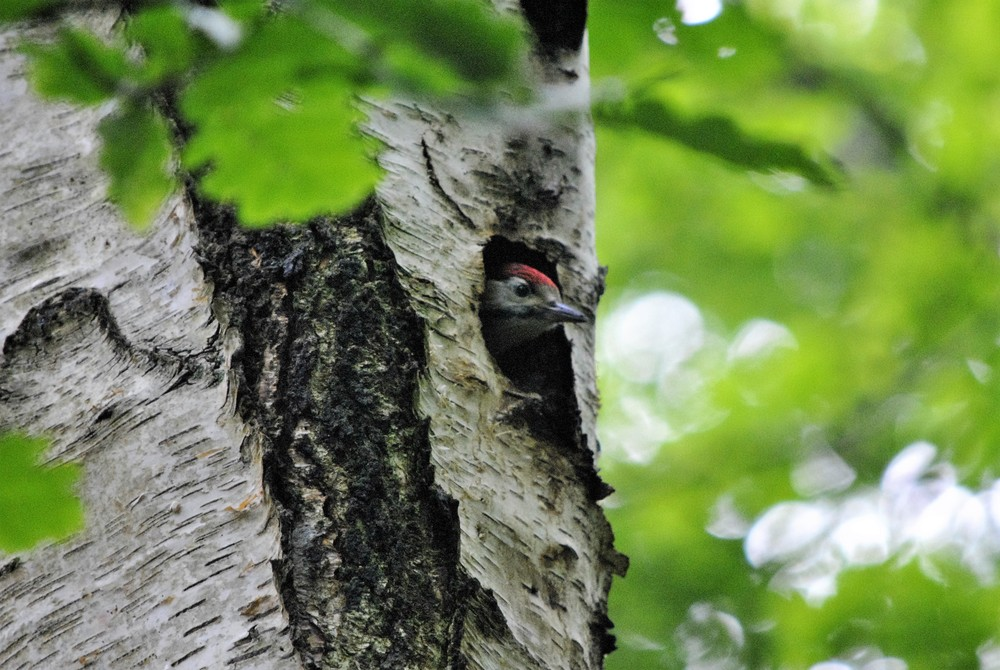 A woodpecker chick on the dog walk in the woods behind the Ginger&Browns pet shop in Northwich, near Chester, Winsford and Frodsham in Cheshire.