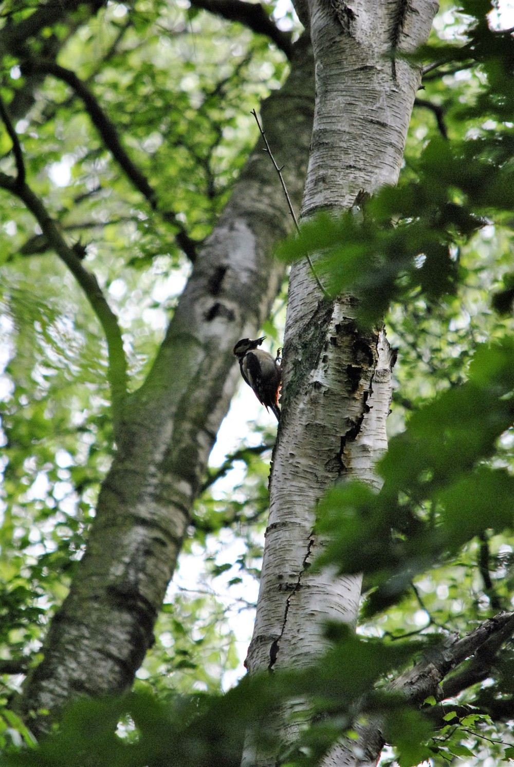A woodpecker on the dog walk in the woods behind the Ginger&Browns pet shop in Northwich, near Chester, Winsford and Frodsham in Cheshire.