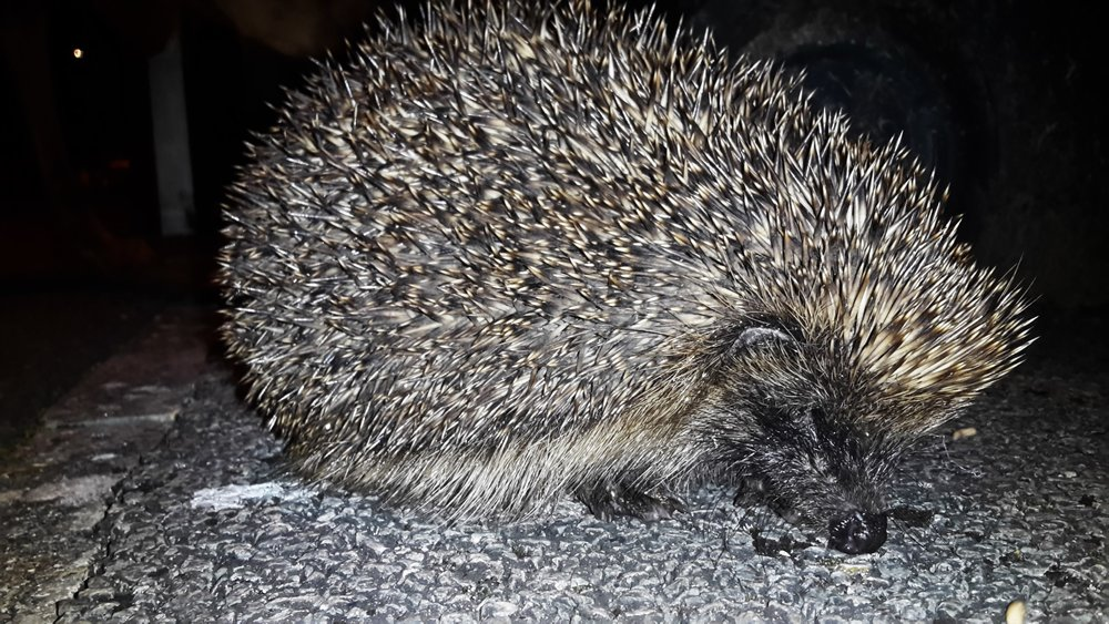 A Hedgehog outside the Ginger&Browns pet shop in Northwich, Cheshire, near Chester, Winsford and Frodsham.