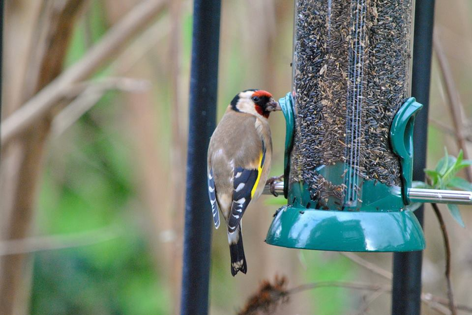 Goldfinch photograph from Ginger&Browns shop for dogs, cats and wildlife in Northwich, Cheshire.