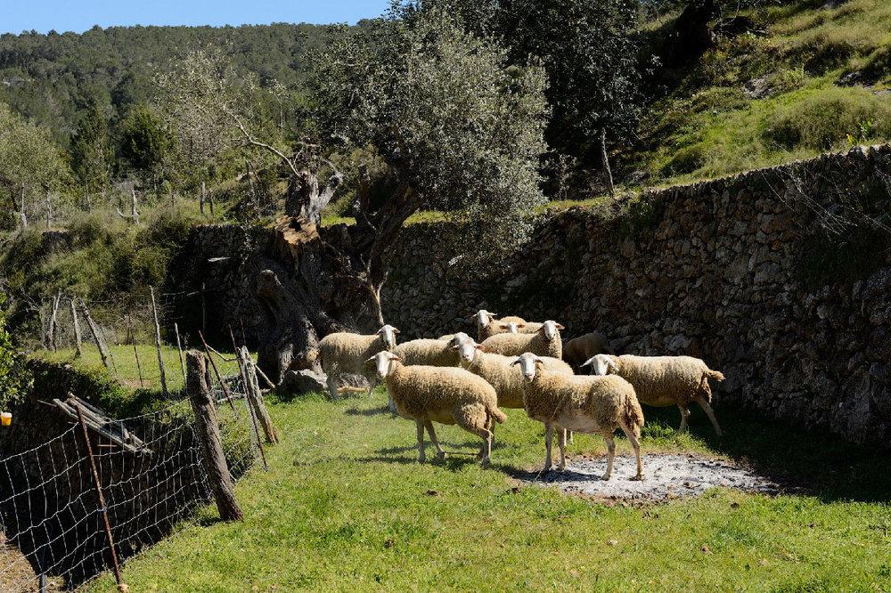Can Vilda Marge-moutons.jpg