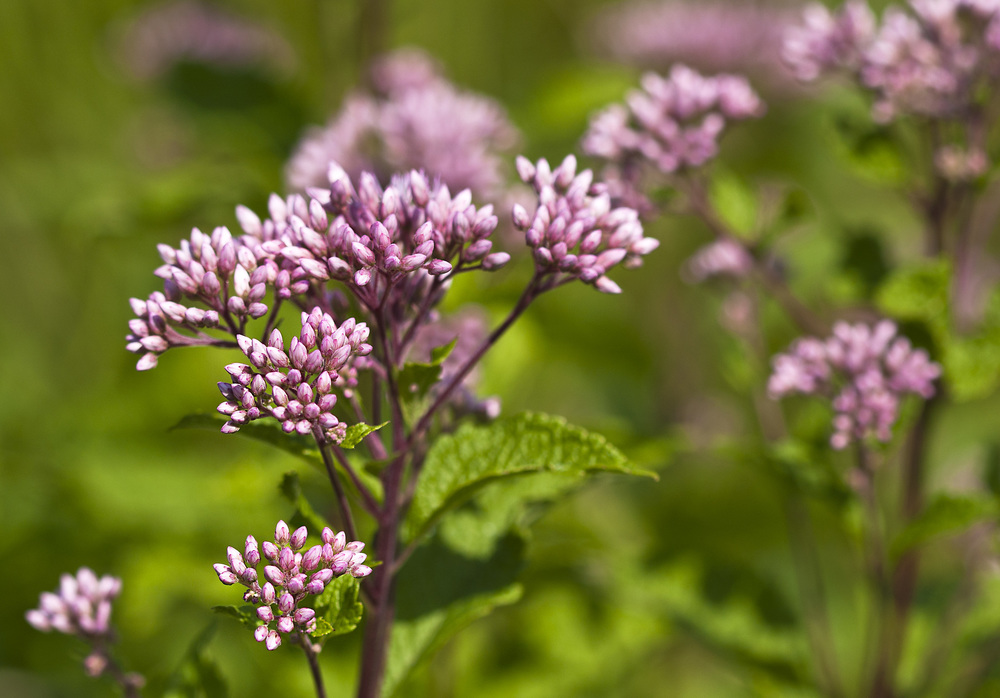 Joe Pye Weed, a native Wisconsin plant.  Photo: Liz West, Creative Commons.