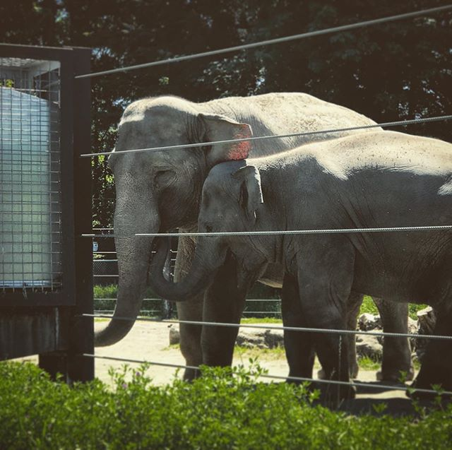 🐘🐘 . . . . . . . . . . . . . #elephant #elephants #zoo #oregon #portland #pdx
