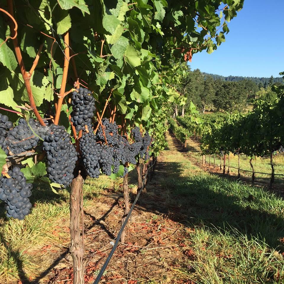bennett-vineyards-grapes.jpg