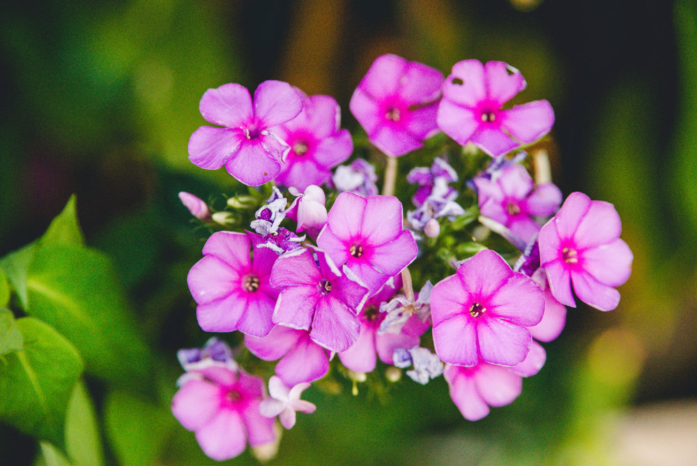 geranium Day 16/365