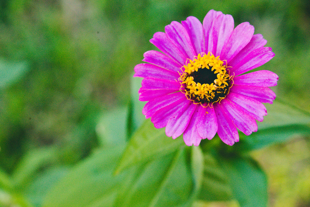 chrysanthemum Day 18/365