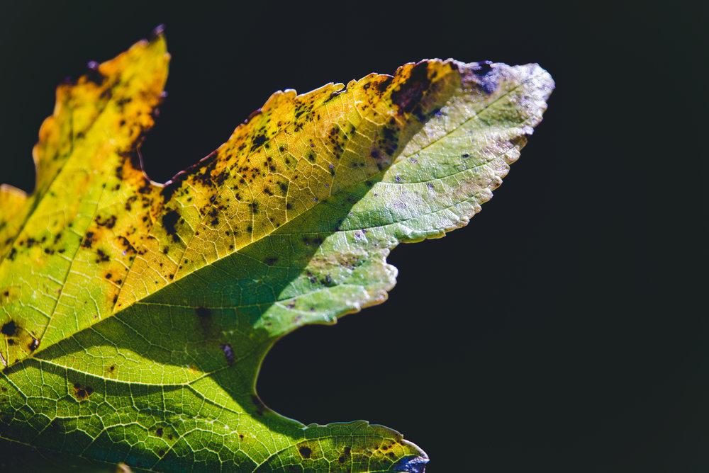light on a leaf Day 21/365