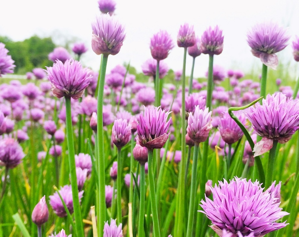 thumb_Chives_Holiday_Card_2015_1024.jpg