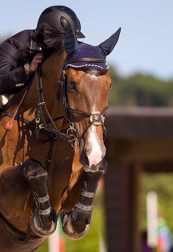Horse training and horse showing hunter jumper