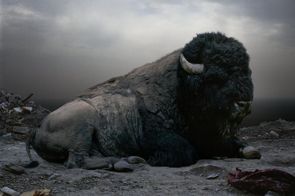 08_SJohan_#153 (buffalo).jpg