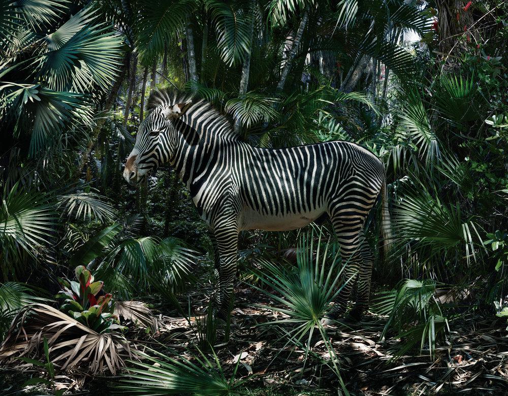 SJ181(zebra).jpg