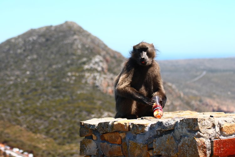 Naughty Baboon at Cape Point - Photo by Pia Newman