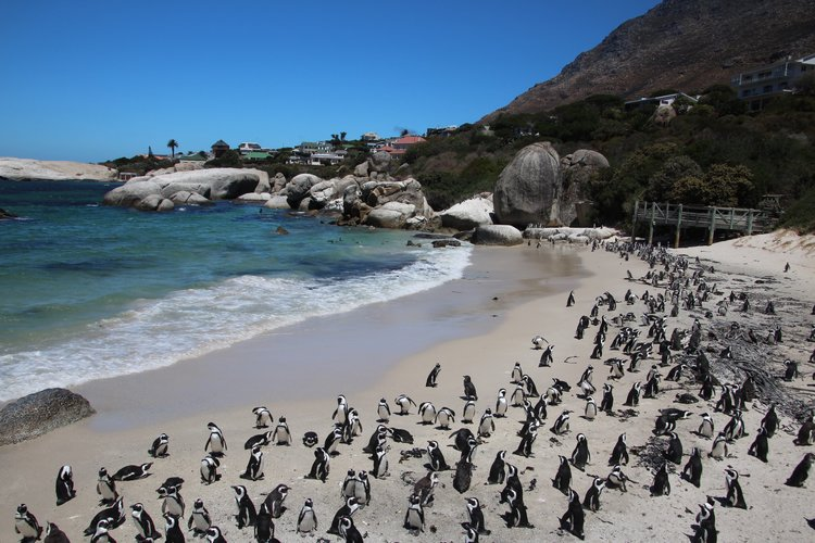 Penguin Colony at Boulders Beach - Photo by Rebecca Miller