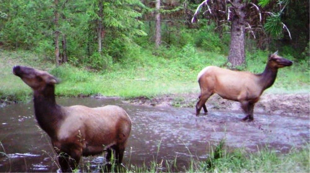 2015-06-03 - 2 Elk bathing in the SR 2.0 Pond
