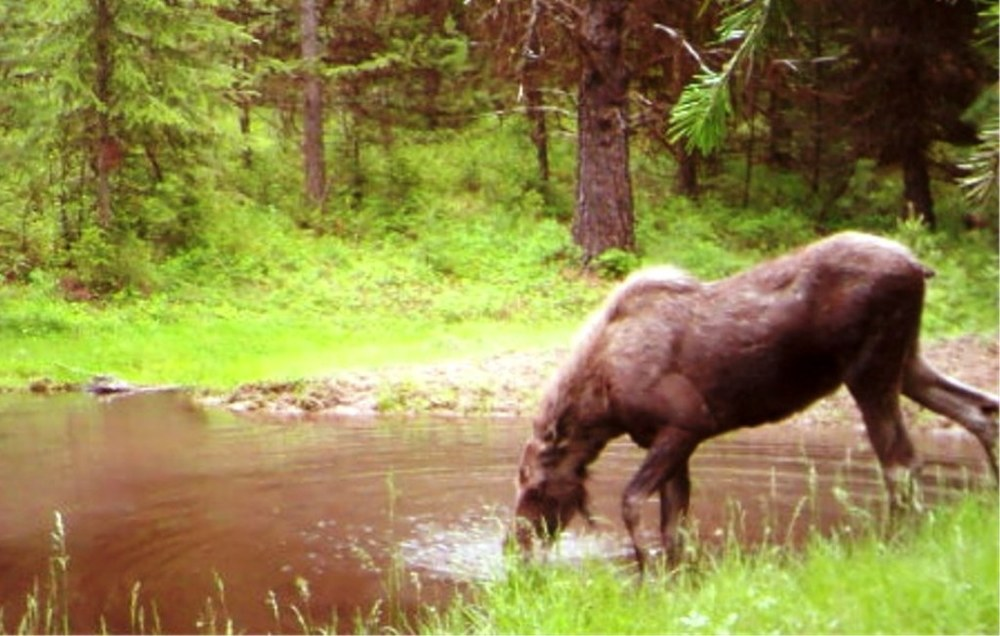 2015-06 - Pond SR2 Moose 2015 #3.JPG