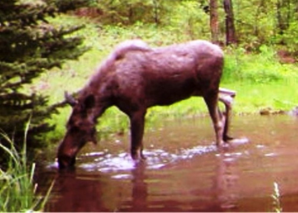 2015-06 - Pond SR2 Moose 2015 #4.JPG