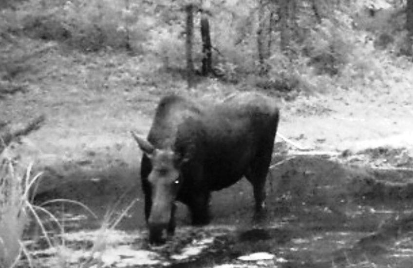 2015-09 - Moose at SR2 - Summer 2015 #3.jpg