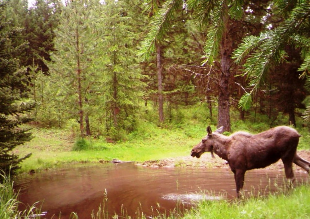 SR2 Pond - Moose at SR2.JPG