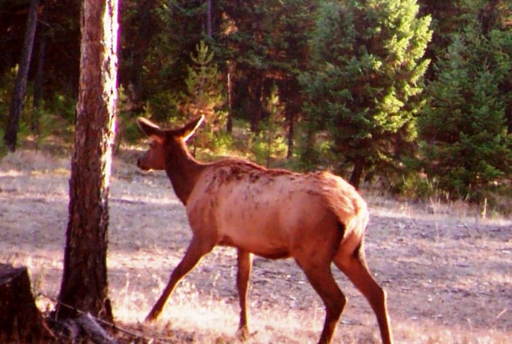 2015-10-15 - Elk on west side SR 2.0