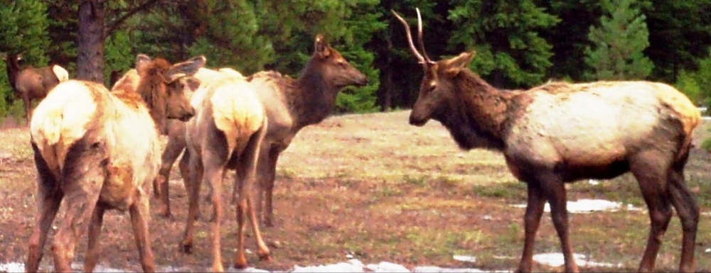 2015-03-16 - Elk Herd on SR 2.0 Build Site
