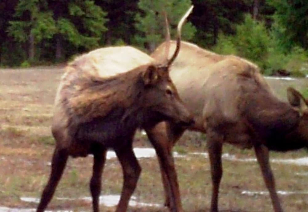 2015-03-16 - Bull Elk on SR 2.0 Build Site