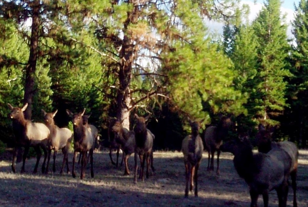 2015-04-02 - Lots of Elk on SR 2.0 Build Site