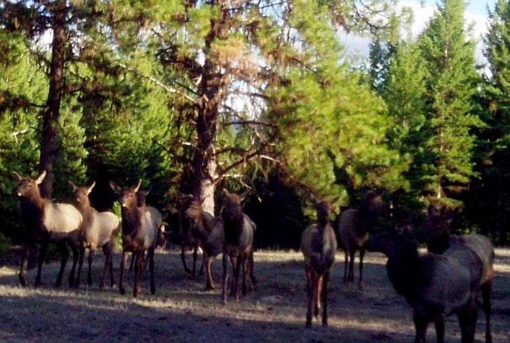 2015-04-02 - Lots of Elk on SR 2.0 Build Site