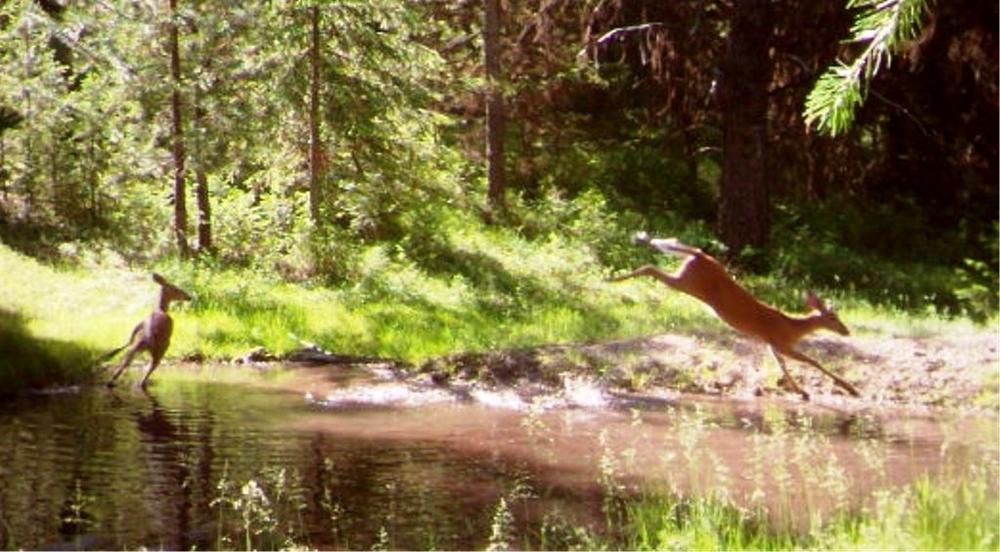 2015-04-05 - Frolicking Deer at SR 2.0 Pond