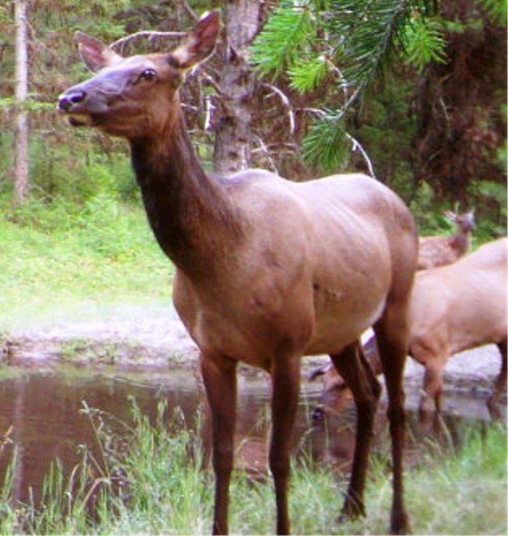 2015-05-01 - Large Elk near SR 2.0 Pond