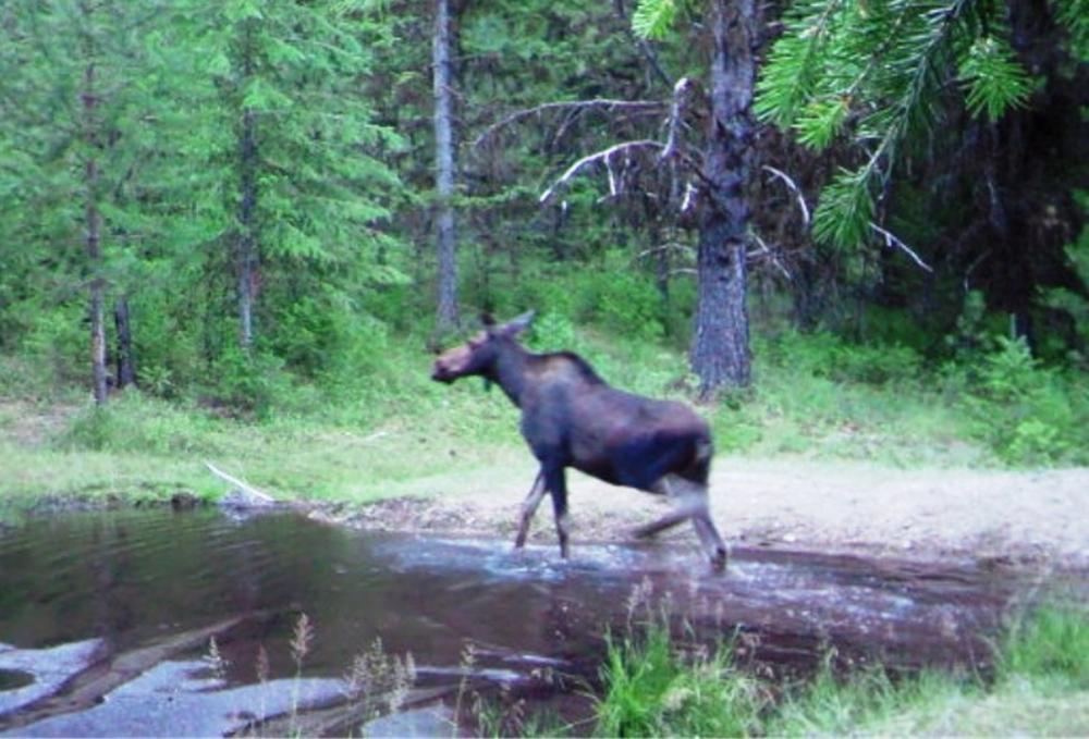 2015-06-01 - Moose in SR 2.0 Pond