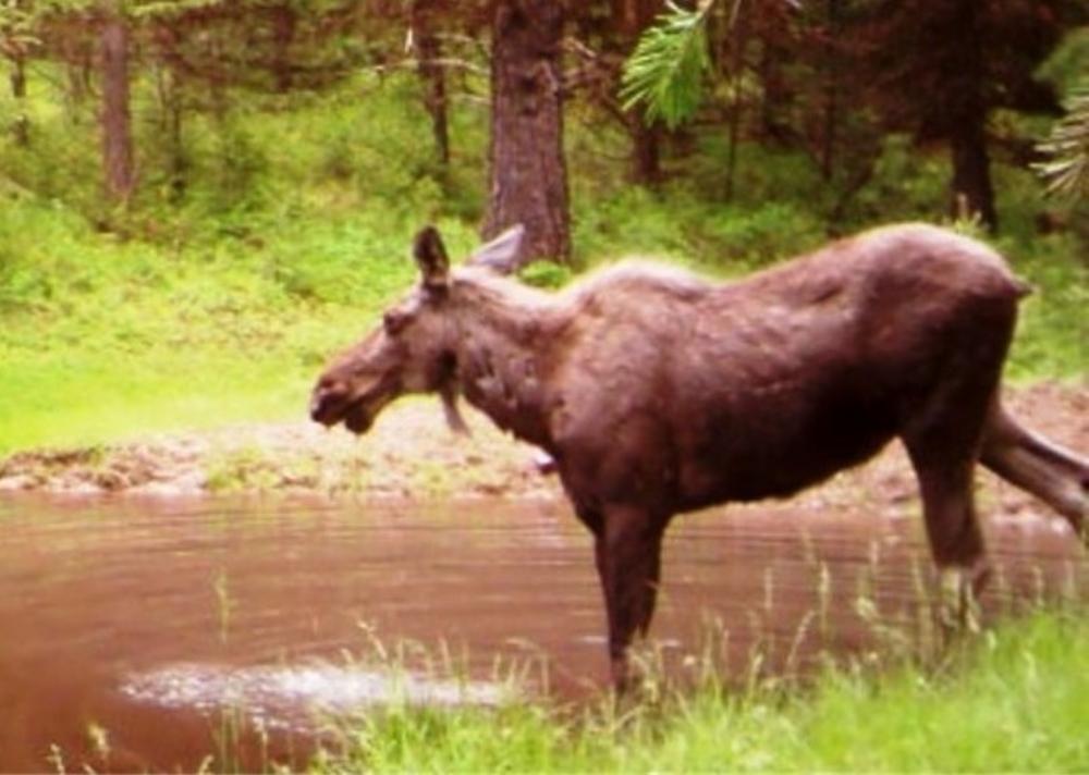 2015-06-06 - Moose admiring the SR 2.0 Pond