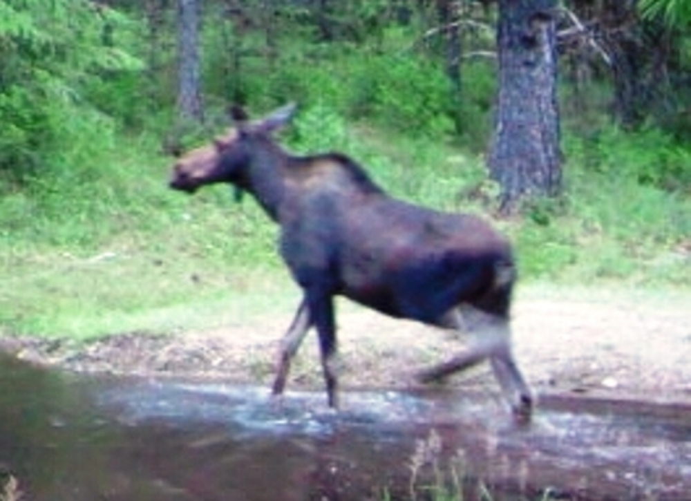 2015-07-07 - Moose getting out of the SR 2.0 Pond
