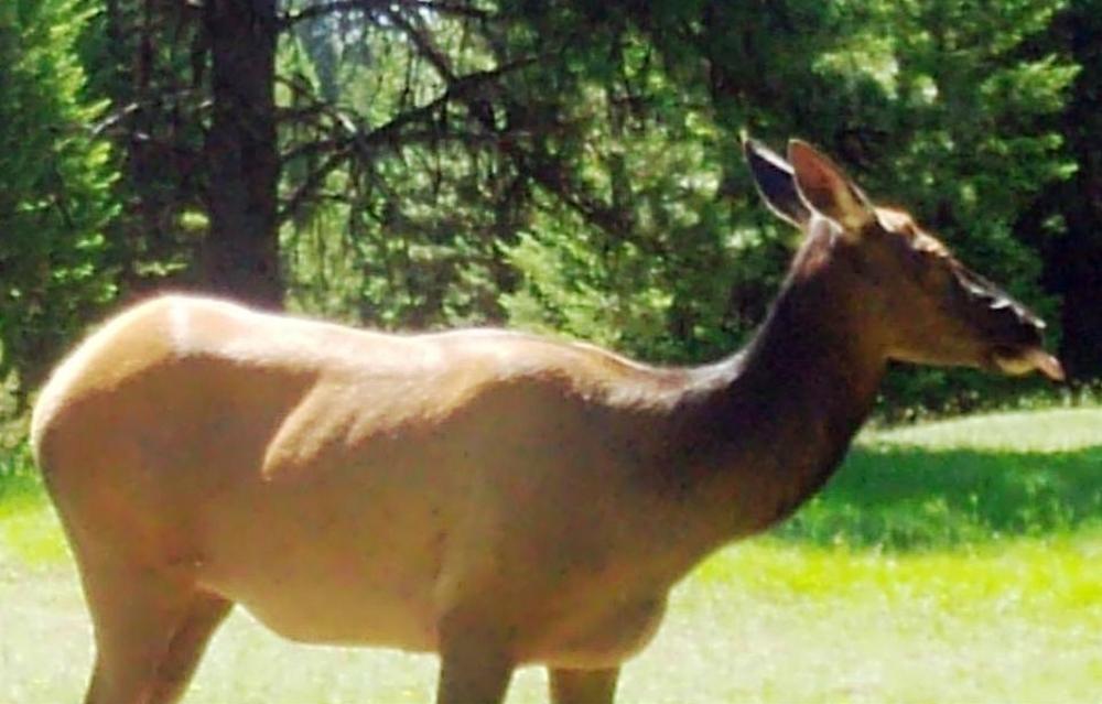 2015-06-12 - Cow Elk Close-up at SR 2.0