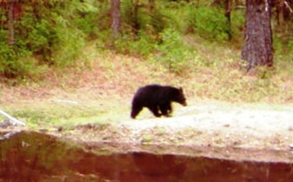 2015-08-09 - Small Black Bear leaving SR 2.0 Pond