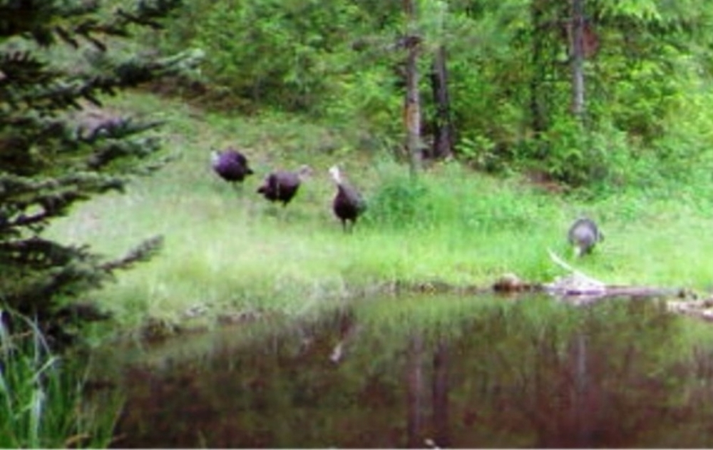 2015-06-06 - Turkeys near SR 2.0 Pond