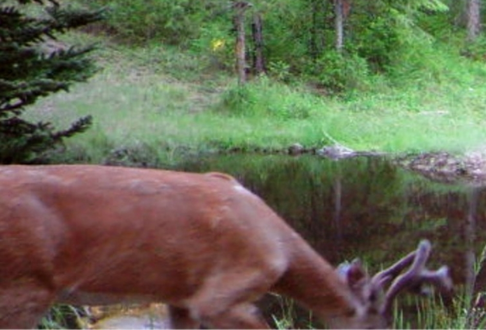 2015-08-02 - Buck near the SR 2.0 Pond