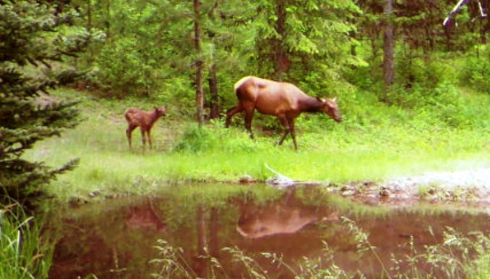 2015-07-10 - Mother and Baby Elk at SR 2.0 Pond